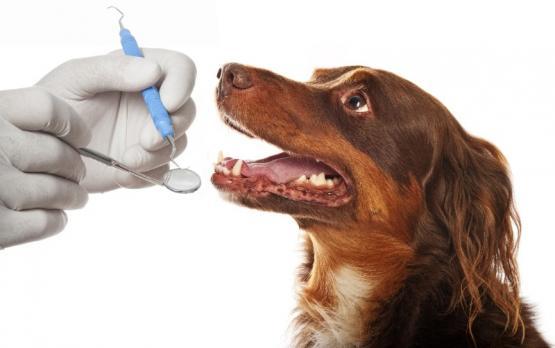 chien dent